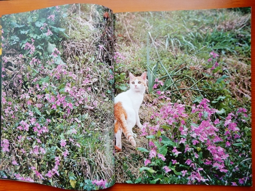 ピンクの花の振り向き子猫 (500x375)