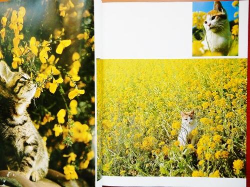 菜の花の子猫写真 (500x375)