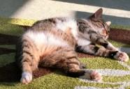 飼い主が気をつけたい 猫が急に太る原因を考えてみた