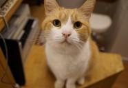 猫カフェ CAT TAIL 甘えん坊のボス猫マンタ