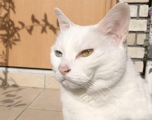 白猫オッドアイ