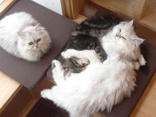 子猫で仲良し2457