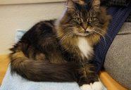 猫カフェ キャットテイルの添い添いシロンちゃん