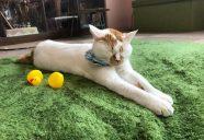保護猫カフェでボランティア始めませんか?