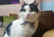 甘えん坊のイケにゃん!アーモンド君−保護猫カフェもりねこ