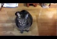 """たまに""""ごはん""""としゃべるキジトラ猫"""