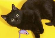 欧米で不吉と言われている黒猫は、日本では昔 福猫として親しまれていた
