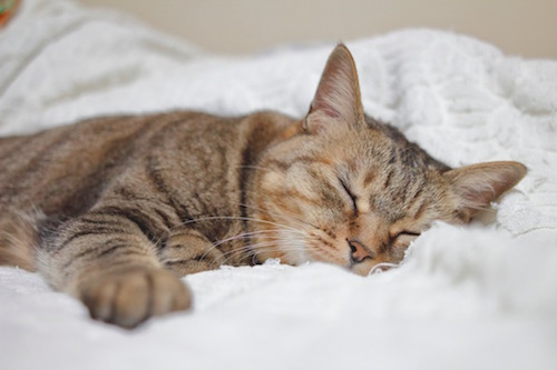 夢占いで猫を飼う意味は凶?大きさや色で意味が異なる理由を徹底解説