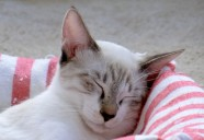残念すぎる「猫が干支にならなかった理由」とは?