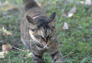トラさんの威嚇の巻!可愛いだけじゃニャーイ!のよ、縁側ネコはねっ