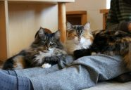 猫まみれのお膝を目指して−膝乗り猫カフェ Cat tail