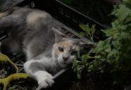 イヌハッカにメロメロのっ巻!!可愛いだけじゃニャーイ!のよ、縁側ネコはねっ