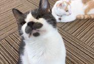 猫と猫好きのためのイベント「にゃんぶまつり」ボランティア、大大大募集!